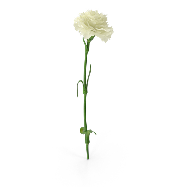 Carnation PNG & PSD Images