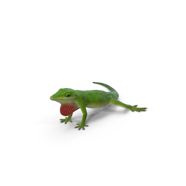 Carolina Anole Lizard PNG & PSD Images
