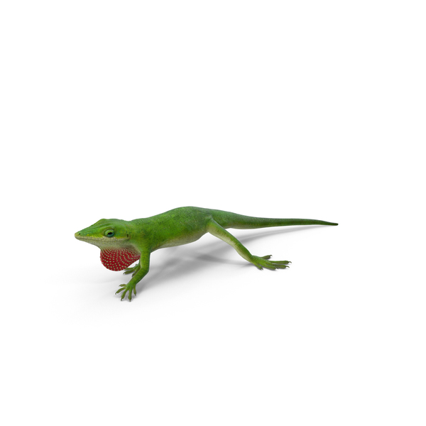 Carolina Anole Lizard Object
