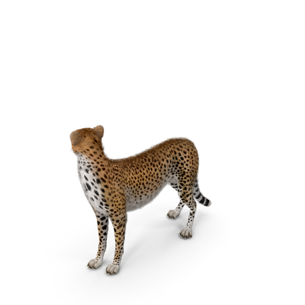 Cheetah Looking Around with Fur PNG & PSD Images