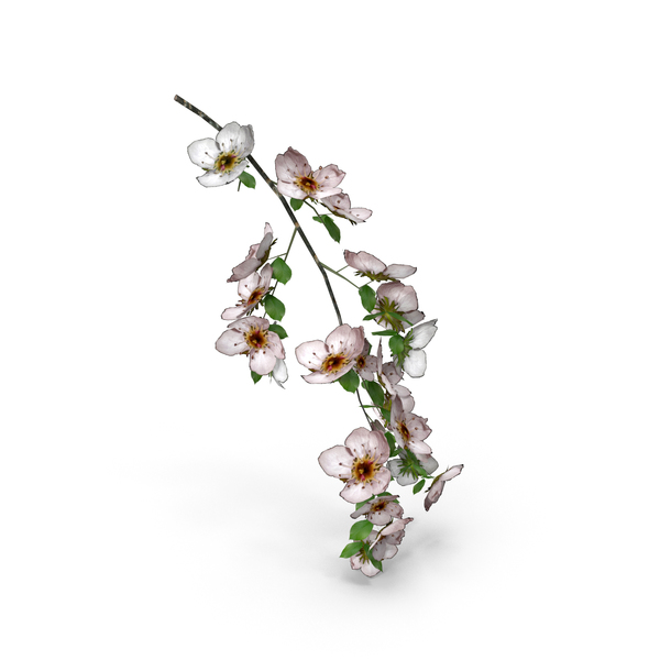Cherry Blossom Branch PNG & PSD Images