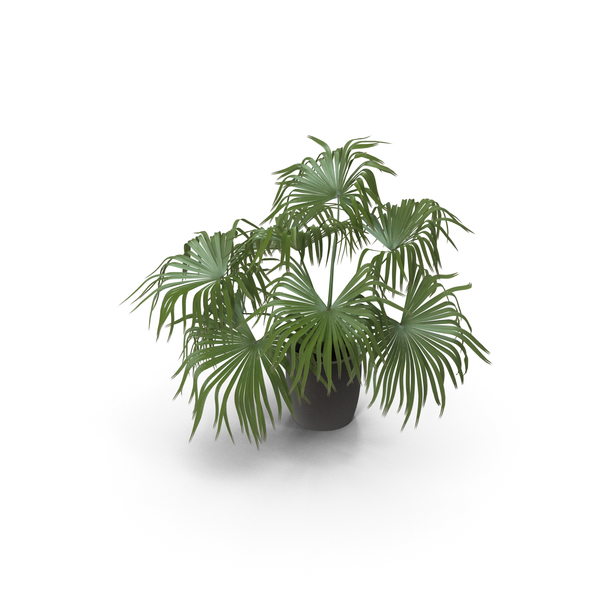 Chinese Fan Palm In Pot PNG & PSD Images