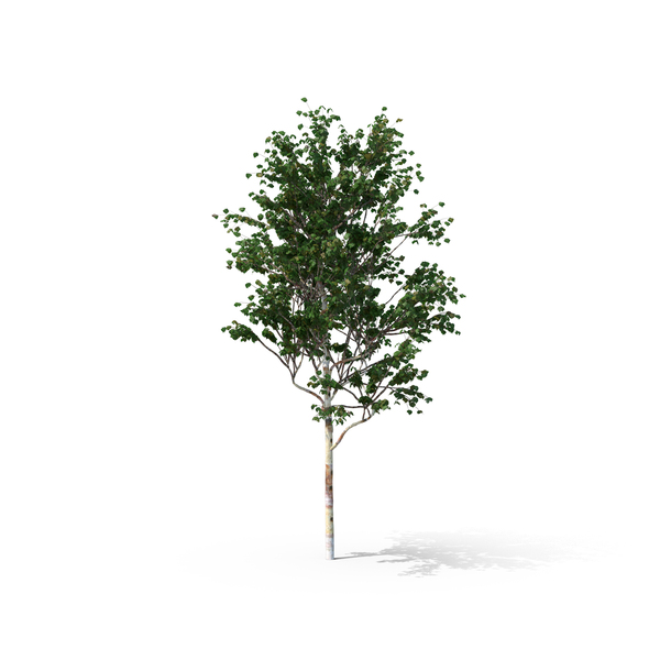 birch tree asian personals Bronze birch borers  to help ensure that a birch tree is healthy, apply the treehelp annual care kit for birch trees in the spring or early summer.