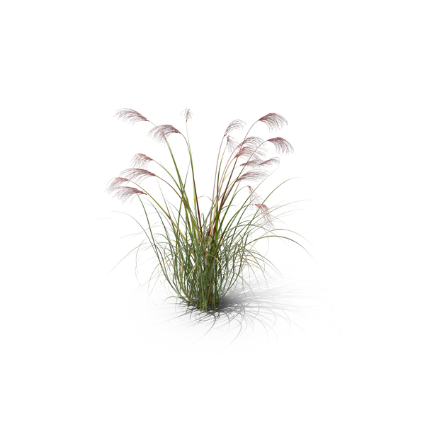 Flowering Plants: Chinese Silver Grass PNG & PSD Images