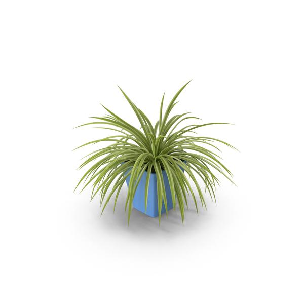 Chlorophytum Plant PNG & PSD Images