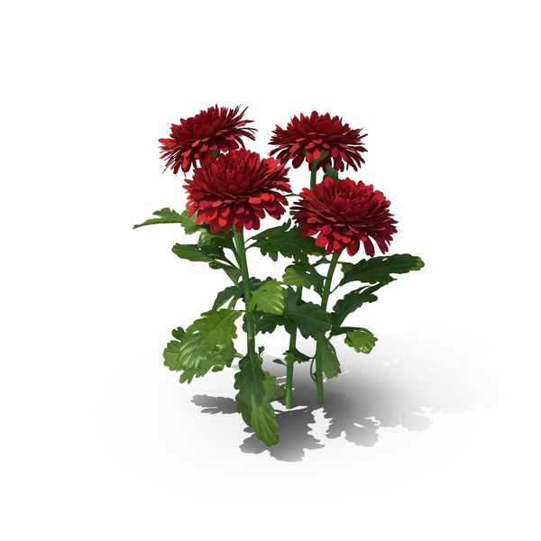 Chrysanthemum PNG & PSD Images