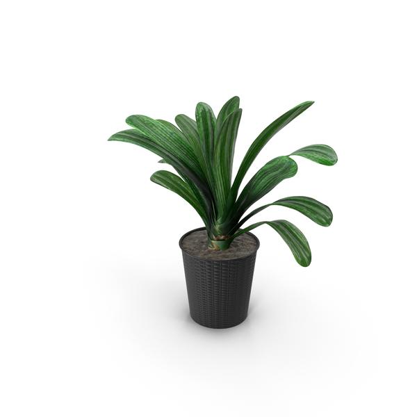 Prayer Plant: Clivia PNG & PSD Images