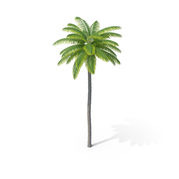 Coconut Palm Tree PNG & PSD Images