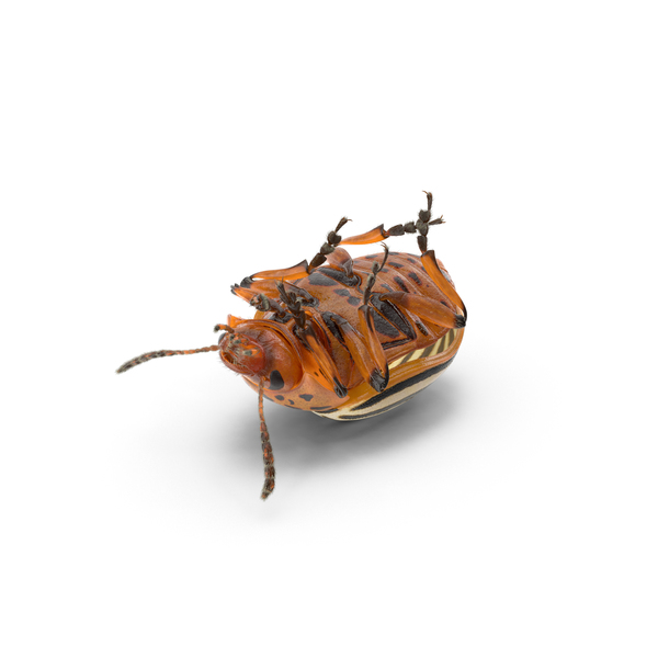 Colorado Potato Beetle Object