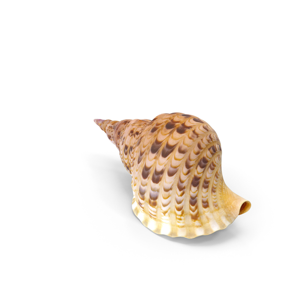 Conch PNG & PSD Images