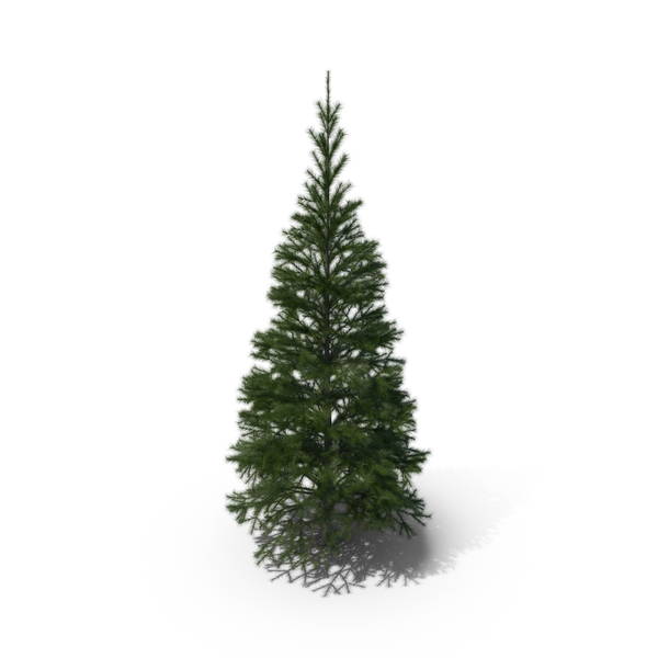Conifer Tree PNG & PSD Images