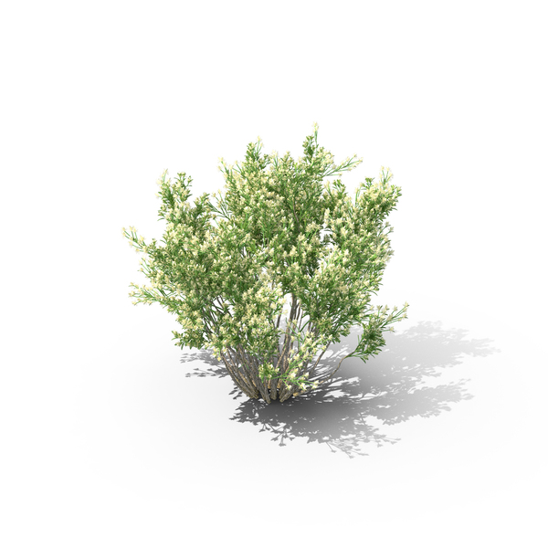 Coyote Brush PNG & PSD Images