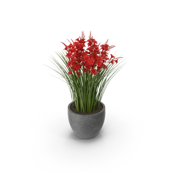 Crocosmia in Pot PNG & PSD Images