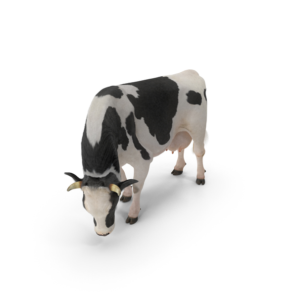 Holstein: Dairy Cow Eating Pose with Fur PNG & PSD Images