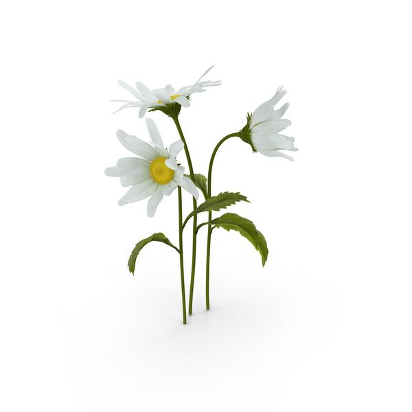 Daisy PNG & PSD Images