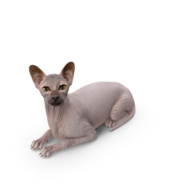 Dark Cream Sphynx Cat Lying Pose PNG & PSD Images
