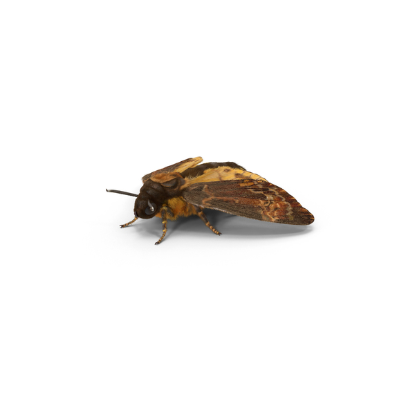 Death's Head Hawkmoth PNG & PSD Images