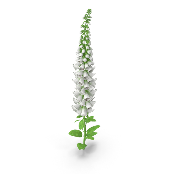Digitalis Foxglove Alba White PNG & PSD Images