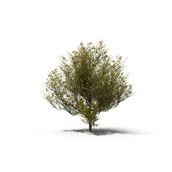 Dogwood Tree PNG & PSD Images