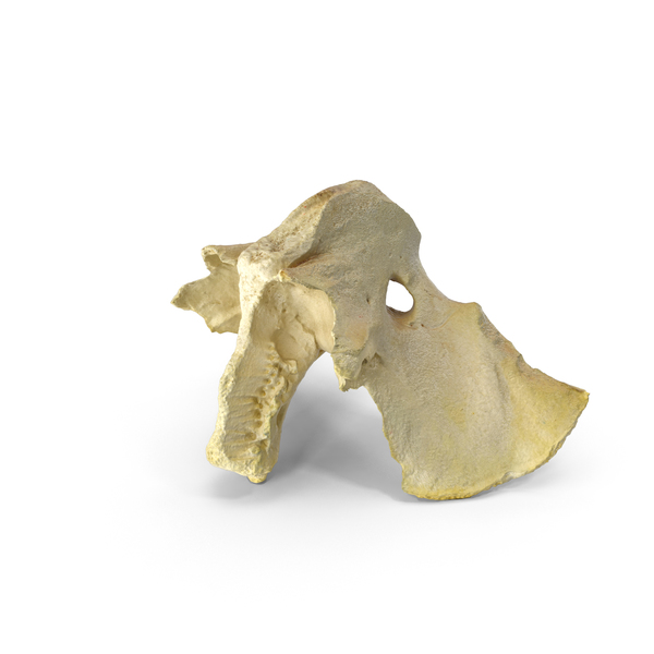 Domestic Calf ( Bos Primigenius Taurus ) Presphenoid Bone PNG & PSD Images