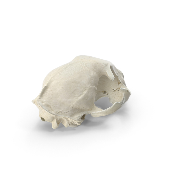 Domestic Cat Skull PNG & PSD Images