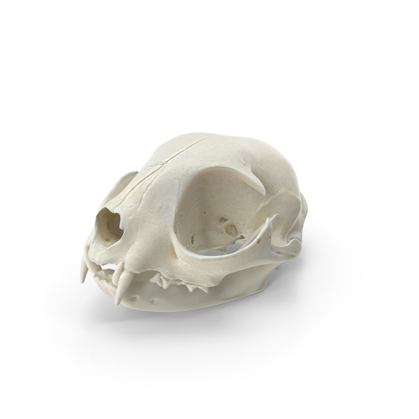 Domestic Cat Skull and Jaw PNG & PSD Images