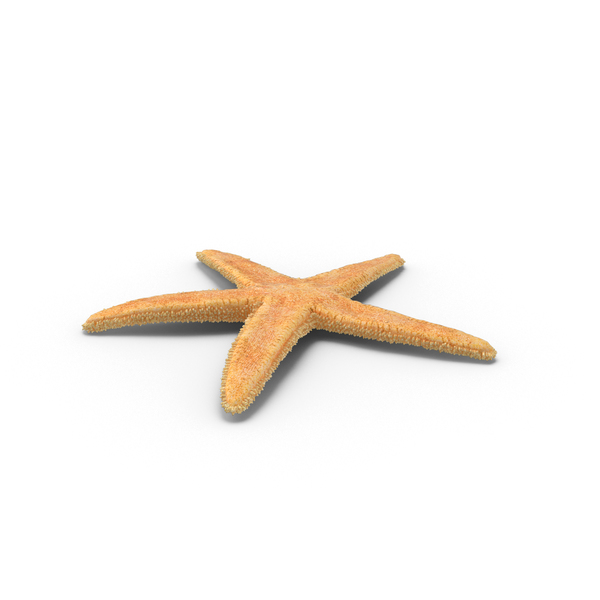 Dried Flat Starfish Object