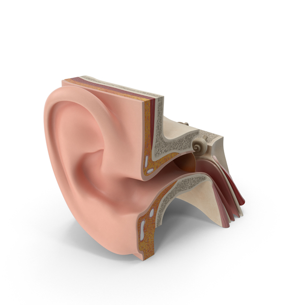 Ear Anatomy PNG & PSD Images