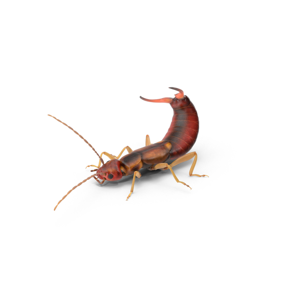Earwig PNG & PSD Images
