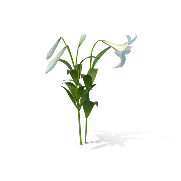Easter Lilies PNG & PSD Images