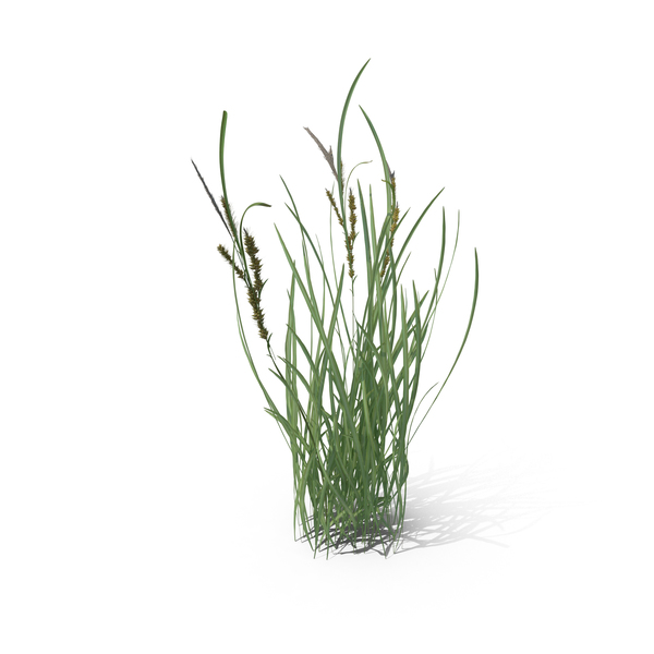 Grasses: Echinochloa Crus-Galli PNG & PSD Images