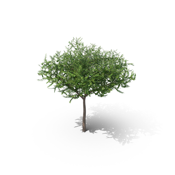 Elm Squat Tree PNG & PSD Images