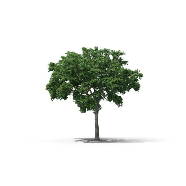 Elm Tree Object