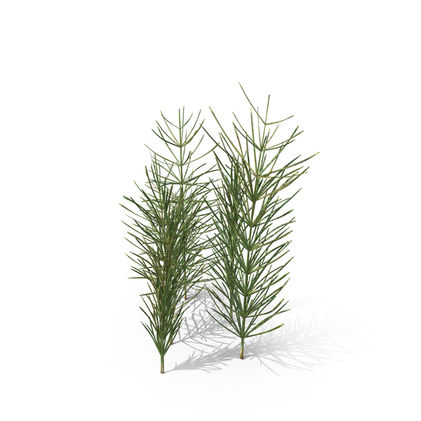 Equisetum Arvense PNG & PSD Images