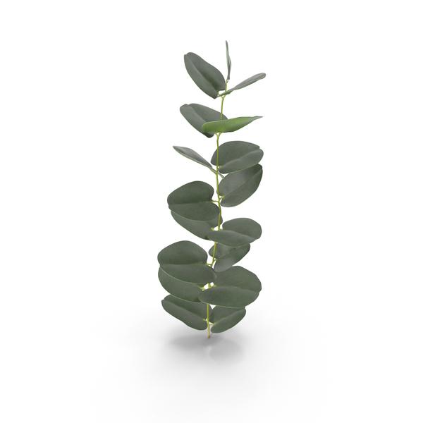 Eucalyptus PNG & PSD Images