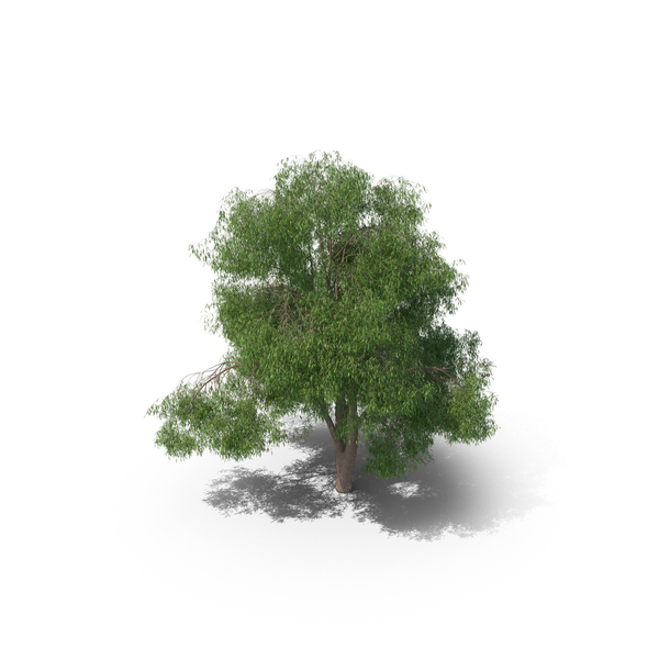 Eucalyptus Tree PNG & PSD Images