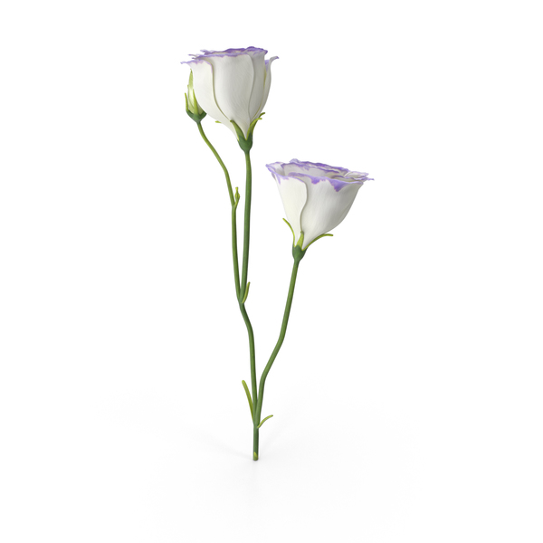 Eustoma White Purple PNG & PSD Images