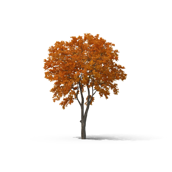 Fall Tree PNG & PSD Images