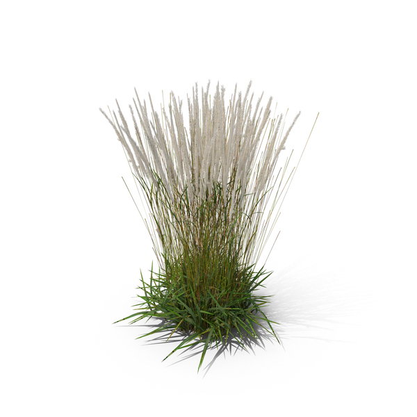 Ornamental grass png purple fountain grass ornamental png for Tall feather grass