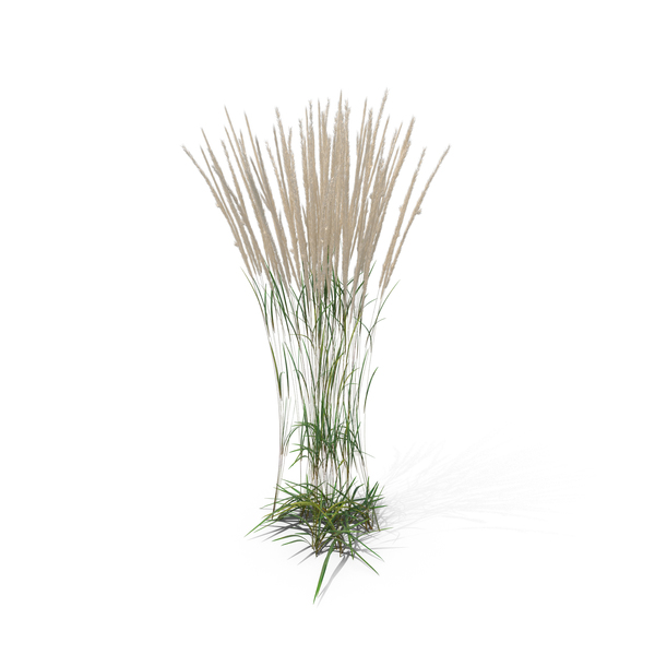 Feather Reed Grass PNG & PSD Images