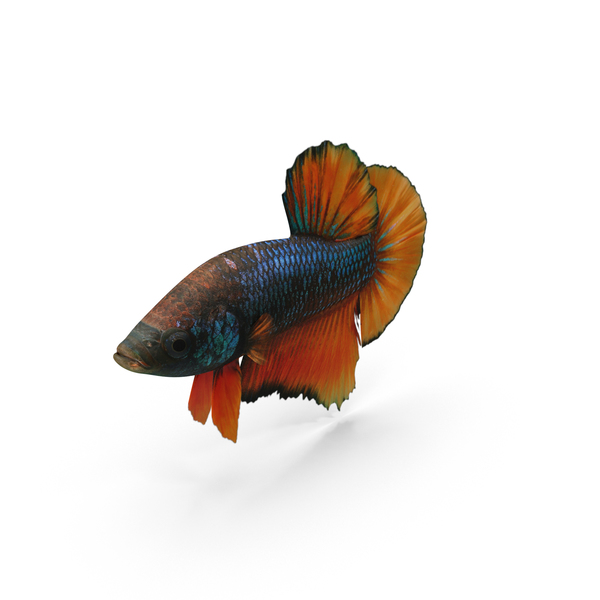 Female Betta Fish PNG & PSD Images