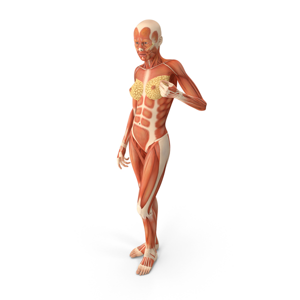 Woman: Female Human Muscles Anatomy PNG & PSD Images