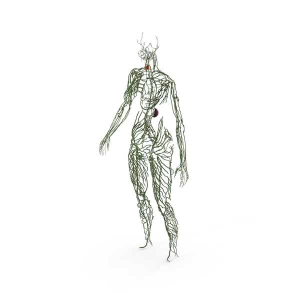 Female Lymphatic System Anatomy PNG & PSD Images