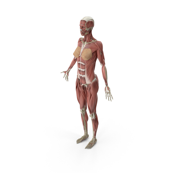 Female Muscular System Object