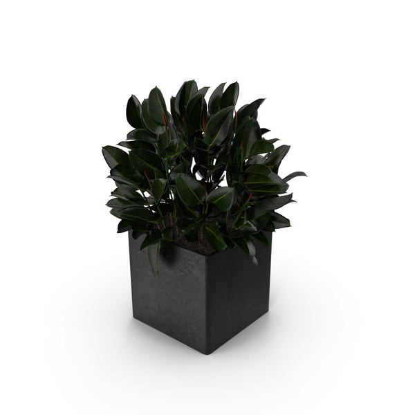 Ficus PNG & PSD Images