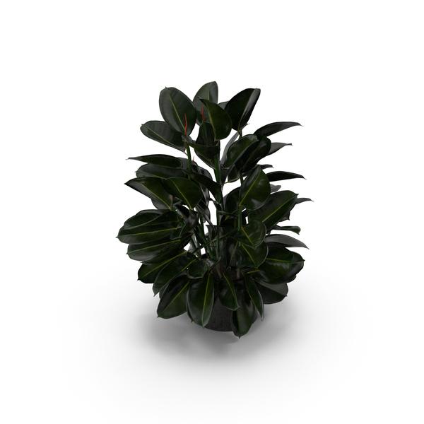 Ficus PNG & PSD Images