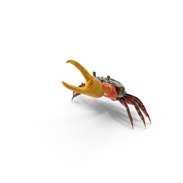 Fiddler Crab PNG & PSD Images