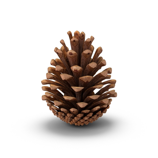 Conifer: Fir Cone PNG & PSD Images