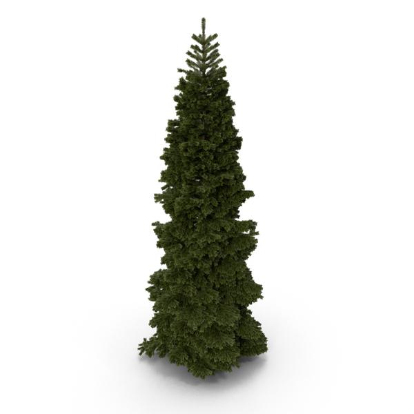 Fir Tree PNG & PSD Images