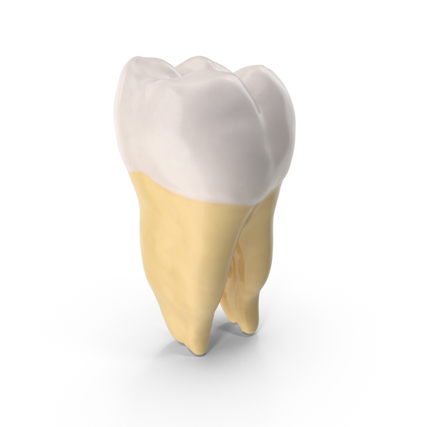 First Molar Lower Jaw Right PNG & PSD Images